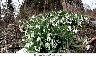 Lots of Galanthus plant on the ground