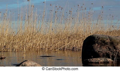 Tall reeds growing on the water - Tall reeds growing on the...