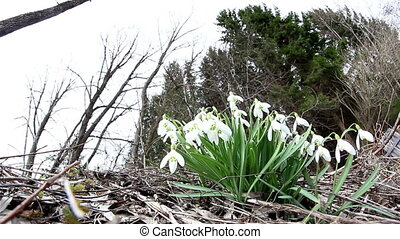 The white snowdrop Galanthus plant on the ground and the...