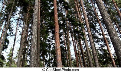 Set of green pine trees on the forest under a very fine...