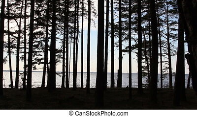 The view of the pine trees during late afternoon - The view...