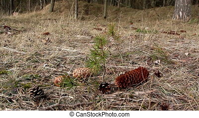 Couple of fir cones scattered on the ground with withered...