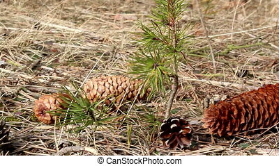Some fir cone scattered on the ground - Some brown fir cones...