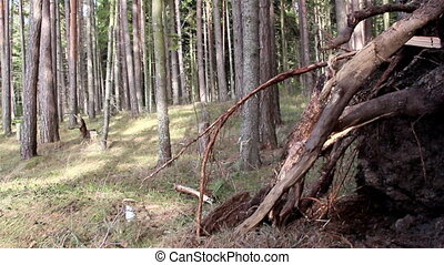 Lots of pine trees on the forest - Lots of pine trees in the...