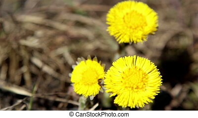 Three yellow coltsfoot flower - The three yellow petal...