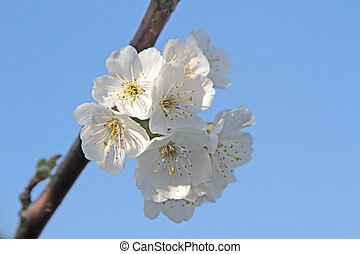 Spring flowers on branch on blue sky Cherry flowers