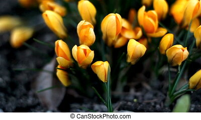 The crocus plant with orange flower - The crocus plants with...
