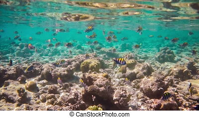Tropical Coral Reef Coral reef in - Sergeant major fish -...