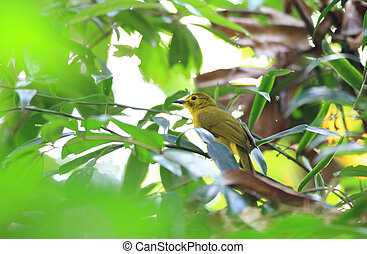 Yellow-browed Bulbul Acritillas indica in Sri Lanka