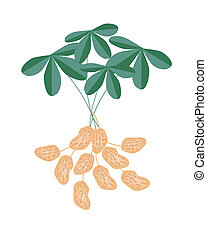 A Peanuts Plant on White Background - Vegetable and Fruit,...