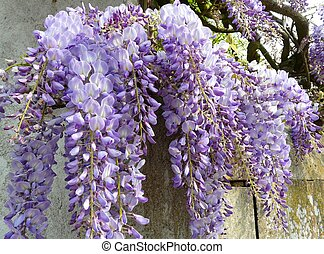 Purple wisteria (wisteria japonica) growing along a fence in...