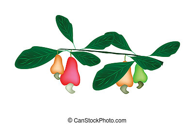 Fresh Unripe Cashew Nut on A Plant - Cashew Nut on A Branch...