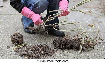 Gardener cut geranium plant - Gardening, preparing geranium...