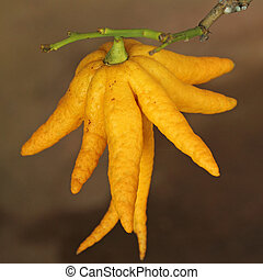 fragrant Buddhas hand or fingered citron fruit, Citrus...