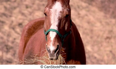 A brown horse chewing - A brown horse with white spots on...