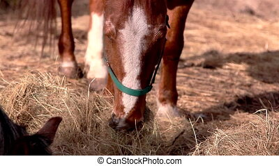The brown horse chewing the grasses - The brown horse with...