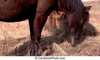 Horses eating and chewing grasses - Two brown horses are...