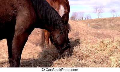 The horses eating the withered grass