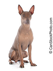 peruvian dog in front of white background