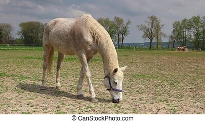 White horse on a ranch - White horse on the pasture on the...
