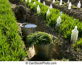 spring garden scene - two buckets and spade in irrigation...