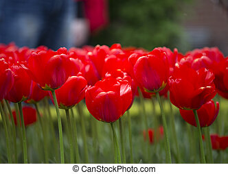colours of keukenhof - red tulips closeup in keukenhof park,...