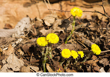 Coltsfoot or Tussilago farfara on brown background