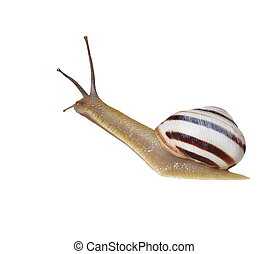 Striped snail isolated on white, vineyard snail Cernuella...