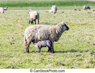 Spring pasture with flock of sheep and lambs