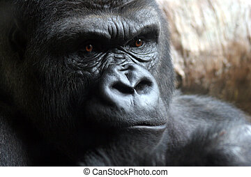 Male Gorilla Up Close