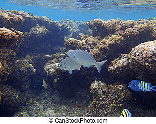 caribbean snorkeling - snorkeling in the caribbean sea of...