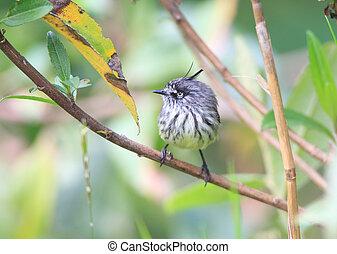 Tufted Tit-Tyrant (Anairetes parulus) in Ecuador