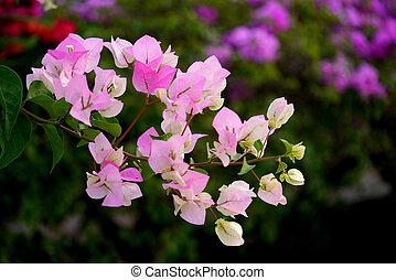 Pink Bougainvillea flower.