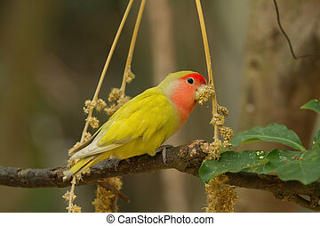 Lovebird on a branch