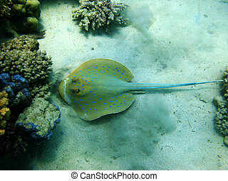 Stingray and coral reef - Blue-spotted stingray and coral...