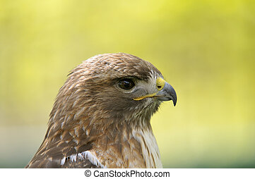 Red-tailed hawk - Portrait of a young red-tailed hawk