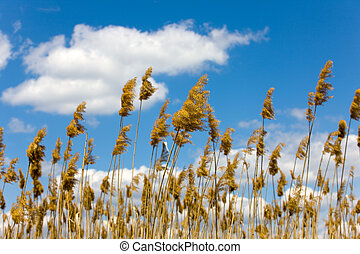 rushes - rush against the sky in a sunny day