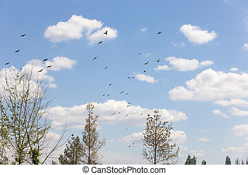 Flock of starlings in flight in spring day