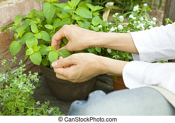 Woman picking mint grown in the garden