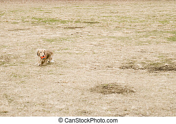Miniature dachshund running in field