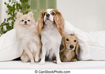 three dogs sitting on sofa