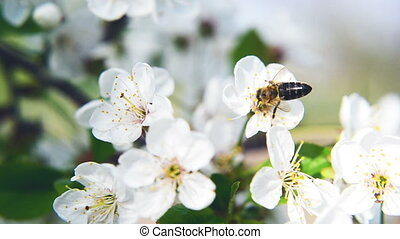Bee collecting pollen from white pear blossoming flowers....