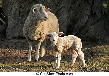 Marino Lamb and Ewe