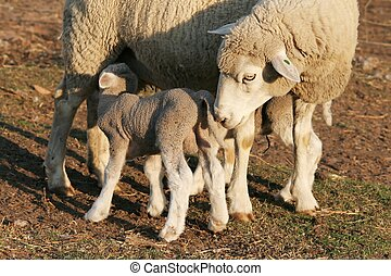 Sheep Lamb and Ewe - Baby lamb drinking milk from its mother...