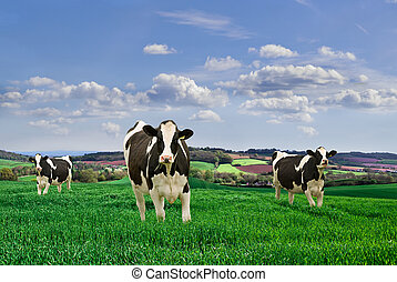 Dairy Cows - Friesian Dairy Cows in a rural setting