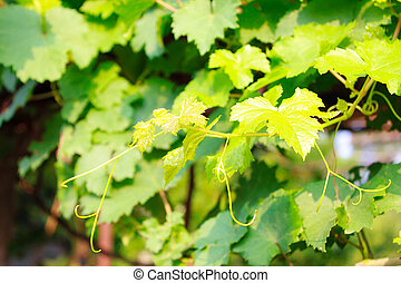 Grape leaves in the nature garden
