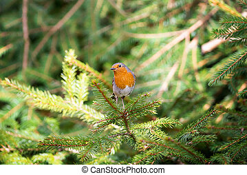 Red Robin perched on a pine twig - Red Robin Erithacus...