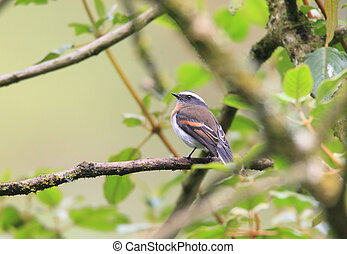Rufous-breasted Chat-Tyrant (Ochthoeca rufipectoralis) in...