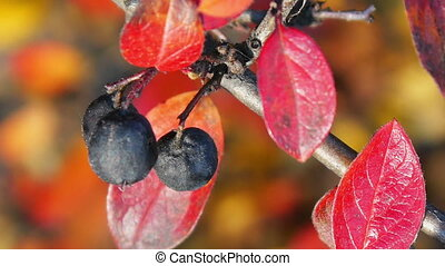 Mature black chokeberry
