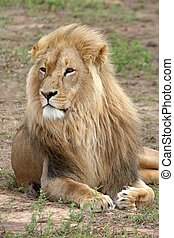 King of the Beasts - Large male lion with a magnificent mane